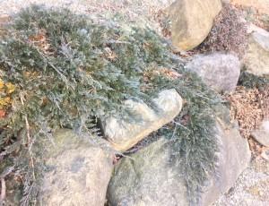 카페트향나무