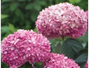 미국수국 핑크아나벨