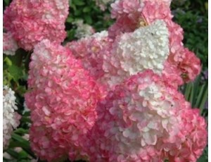 목수국 핑크윙키
