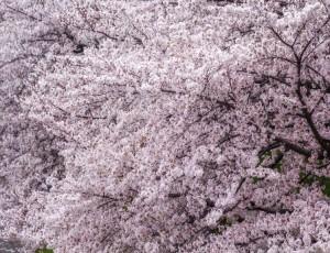 왕벚나무 / B4