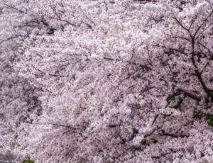 왕벚나무 / R3