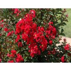 다이나마이트(백일홍) 포트묘