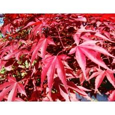 사계홍단풍 화분묘