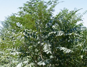 가죽나무 참중나무